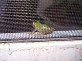 網戸越しの蛙3