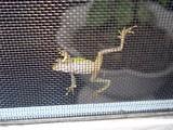 網戸越しの蛙2