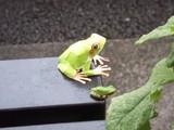 蛙とカエル