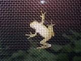 網戸越しの蛙1