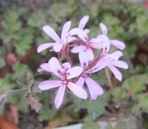 原種ペラルゴ140518-2