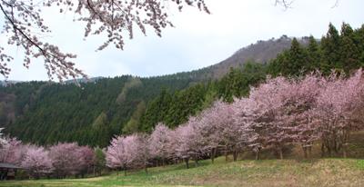 桜  0010