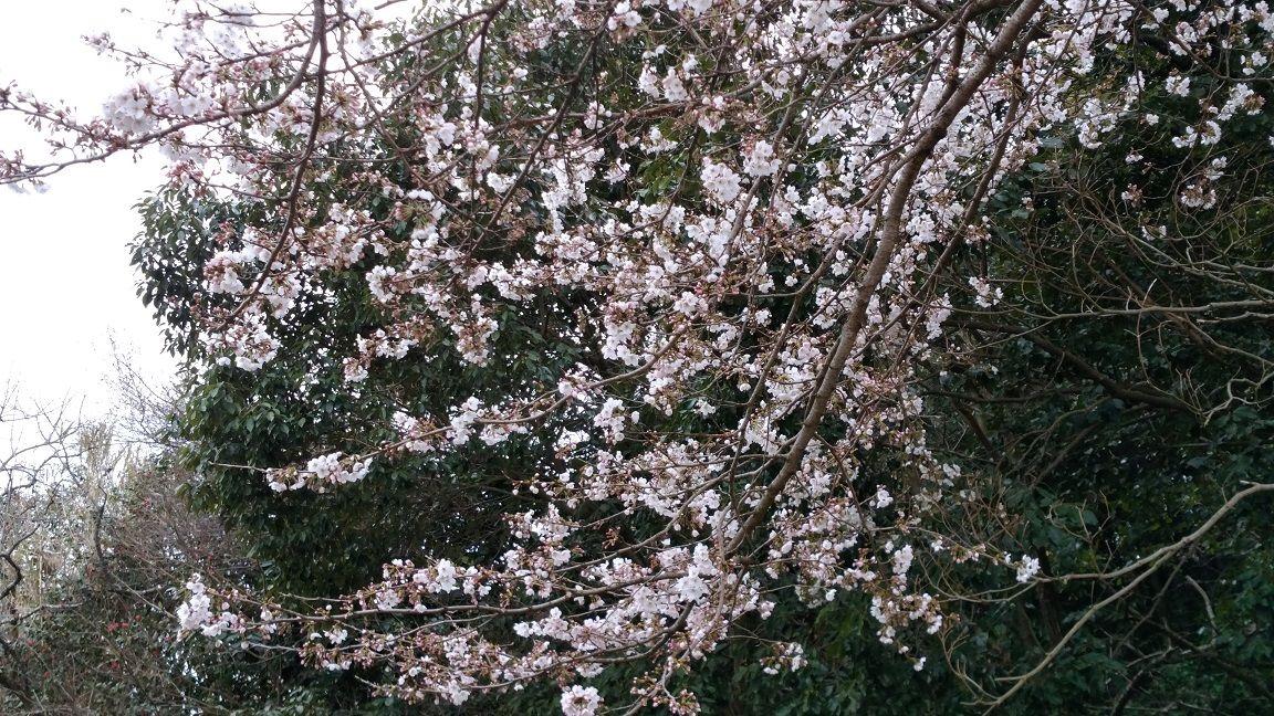20190331桜1