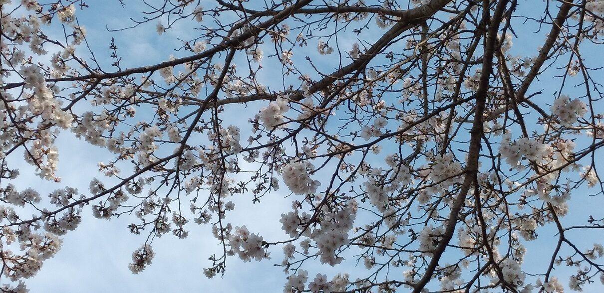 20210404桜