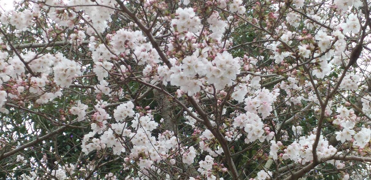 20200328桜