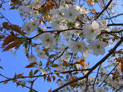 ヤマザクラの花