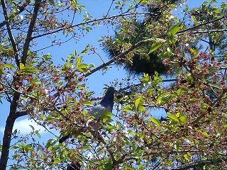 020m-0419-okazaki4-pigeon