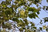 HP:緑色の桜①