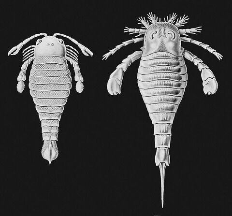 800px-Haeckel-Eurypterida1024