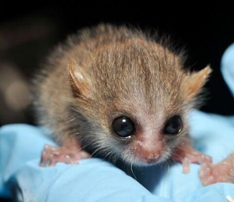 Baby-Lemurs