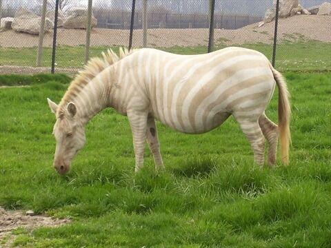 Albino_Zebra_1