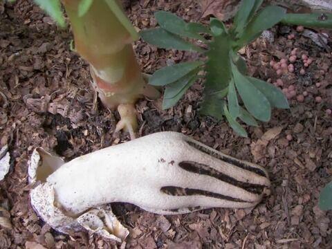 Clathrus archeri - devils fingers