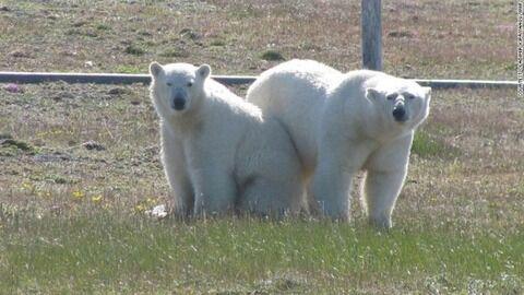 russia-polar-bears1