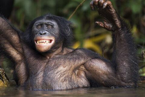 bonobo-bath_2119309i