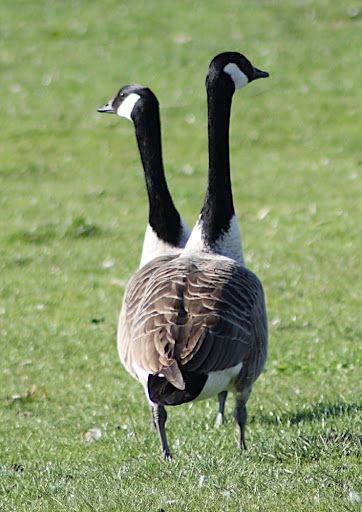 2-headed-goose
