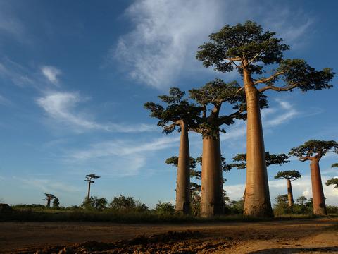 1280px-Allée_des_Baobabs_near_Morondava,_Madagascar