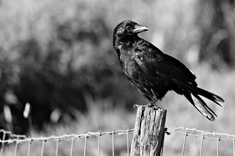 crow-3560516_640