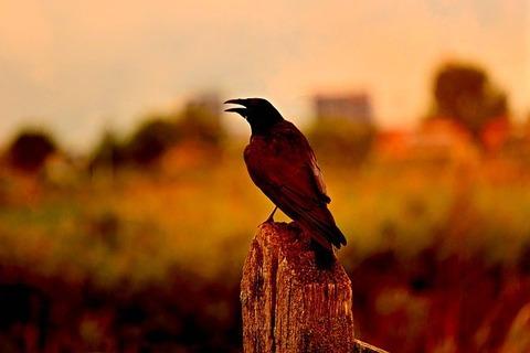 crow-3604685_640