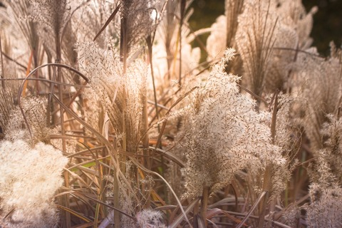 wheat-grasses-3777329_1280