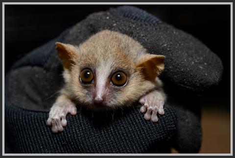 lemurek myszaty - tiny lemur