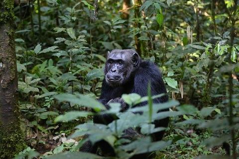 chimpanzee-898756_640