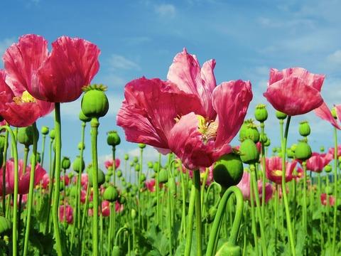 poppy-1574273_960_720