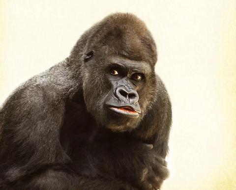 gorilla-448731_960_720
