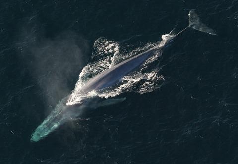 blue-whale-1198719_1280