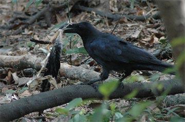 crow060404_32