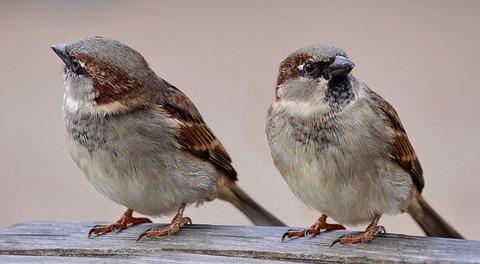 sparrows-2763553_640