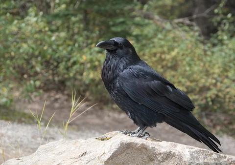 raven-2162966_960_720