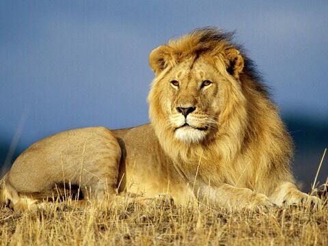 lion-wallpaper5
