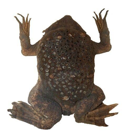 640px-Surinam_toad_(DFdB)