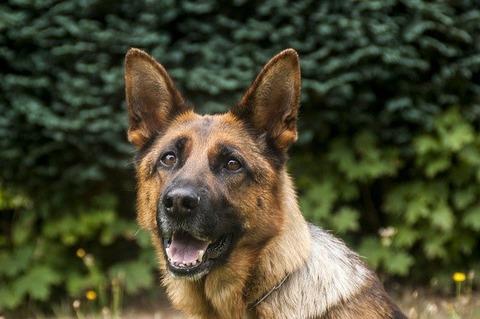 guard-dog-4834445_640