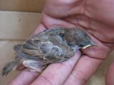 雀のヒナ0612