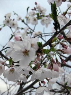 ウチの桜ソメイヨシノ0404