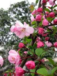 ウチの桜カイドウ桜0404