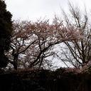 sakura matsuzawa