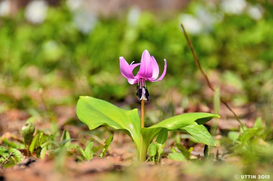 カタクリの花が教えてくれた春のお知らせ♪