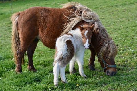 shetland-pony-4080702_1920