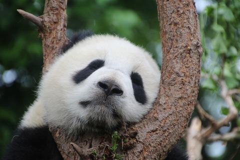 panda-1236875_1280