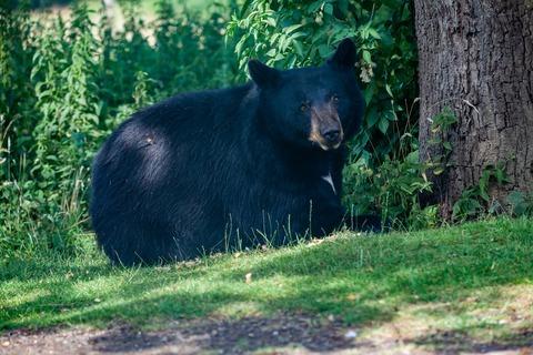 black-bear-4361435_1920