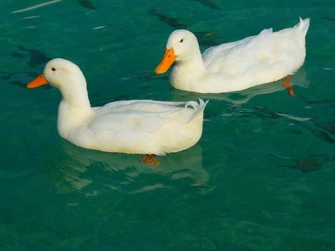 duck-15026__480