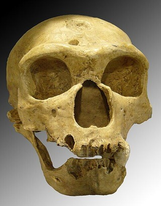 480px-Homo_sapiens_neanderthalensis