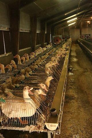 500px-28-gavage-foie-gras-cages-individuelles-France-2012