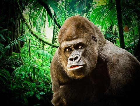 gorilla-3078107_1280