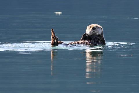 sea-otter-1772039__480