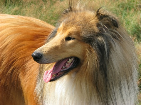 rough-collie-76394_1920
