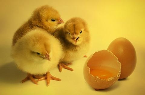 chicks-2965846__480