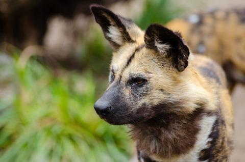 african-wild-dog-1332235_1280